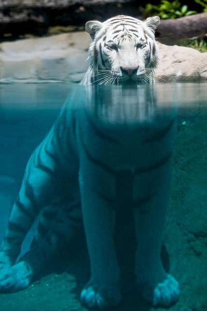beautiful white tiger taking a dip ...........click here to find out more http://googydog.com