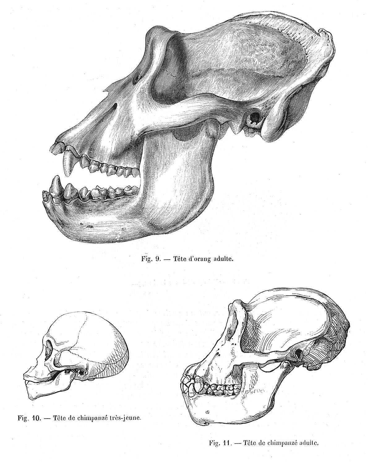 Fig. 9--Adult Orangutan skull; Fig. 10--Very young Chimpanzee skull; Fig. 11--Adult Chimpanzee skull.