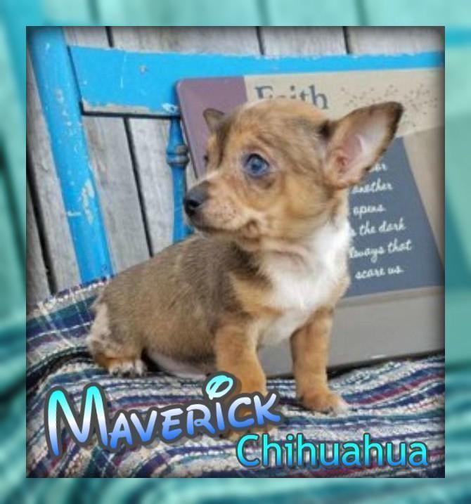 Maverick Male Chihuahua Puppy 300 Http Www