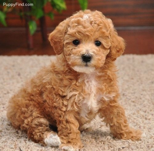 Pebbles Red Toy Poodle Puppies By Design Maltipoo Puppy