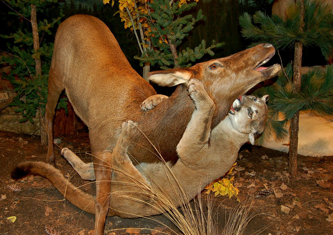 Mountain Lion Attacks | Mountain Lion Attacking Deer | MT ...