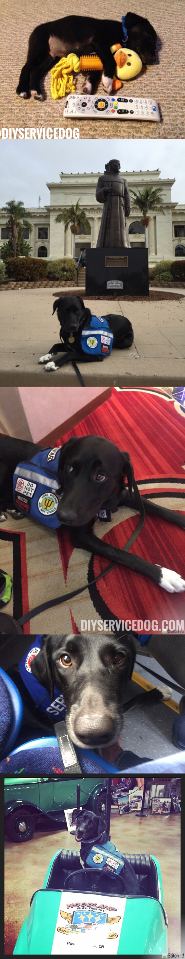 Pin by Jennifer Milligan on Dogs at work Service dog