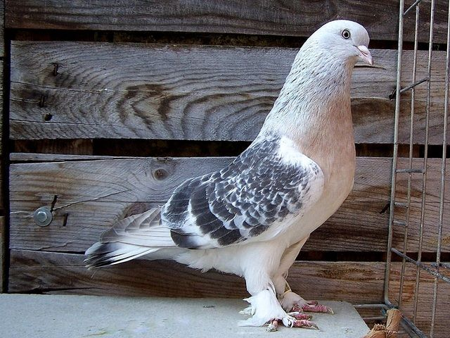 Turkishtumblers Com View Topic Zoran Gregoric Pigeon Breeds Pigeon Tumbler Pigeons