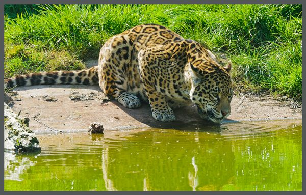 What Do Jaguars Eat >> Captivating Facts About The Food Jaguars Eat And Their