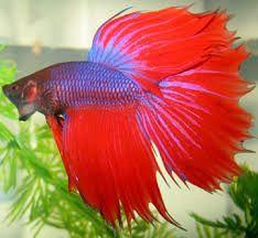 PEZ BETTA-PEZ COMBATIENTE, Se le llama asì porque dentro del acuario son muy territoriales, lo mejor es tener una pareja y no varios machos.
