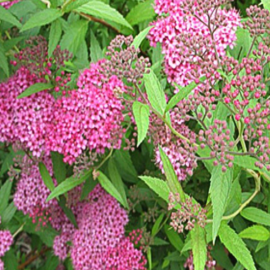 Neon Flash Spirea Is A Favorite Pink Flowering Shrub To About 4 Ft