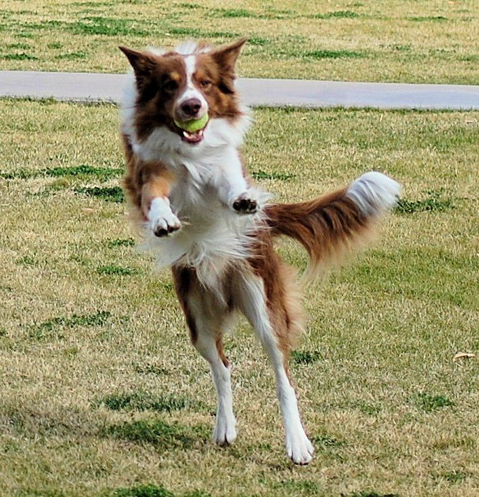 A red and white Border Collie jumps high to catch the ball