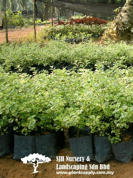 S030602duranta Dwarf Variegated Whole Plant Nursery Supplies Plants Ferns Bonsai