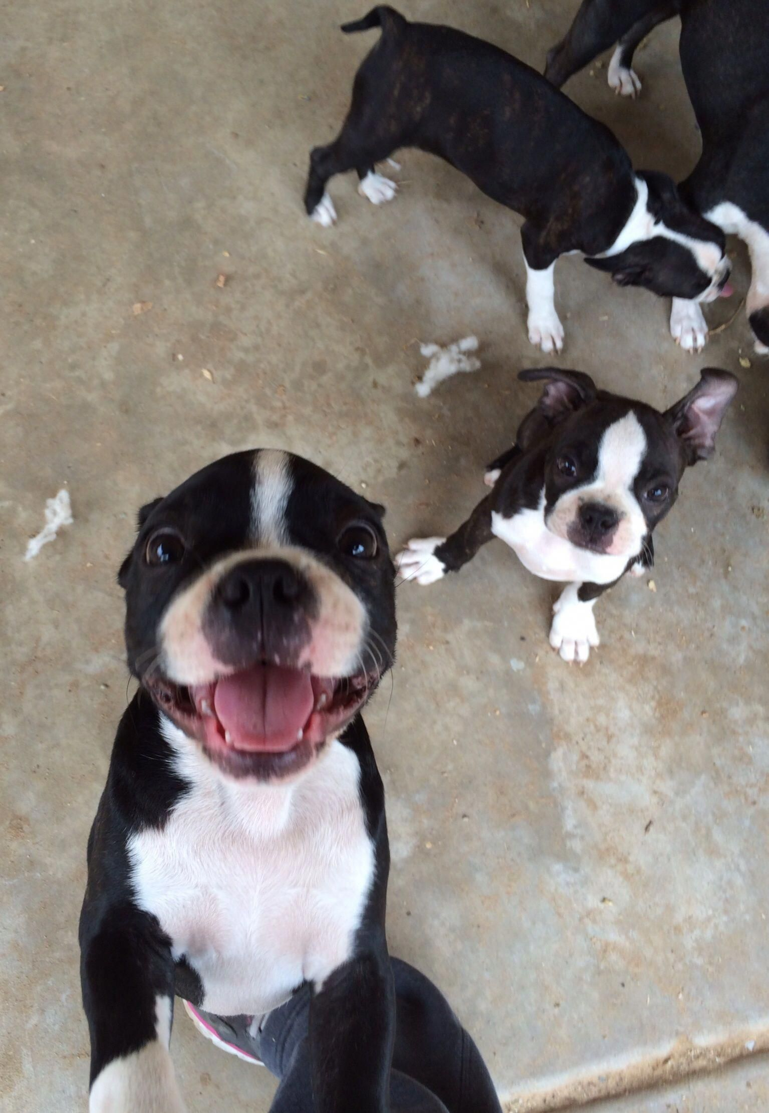 Outstanding Boston Terrier Pups Info Is Available On Our Website
