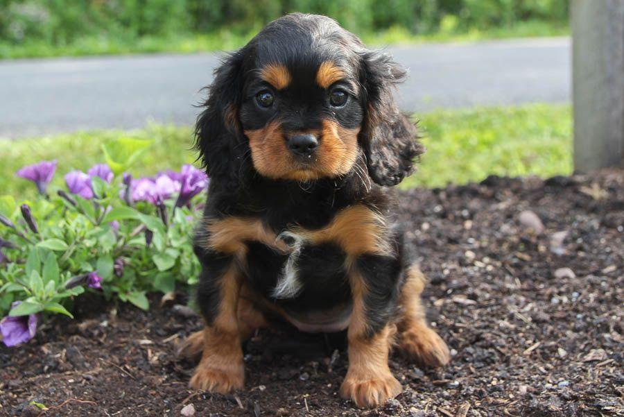Loyal Cavalierkingcharlesspaniel King Charles Cavalier Spaniel Puppy Cavalier King Charles Dog King Charles Dog