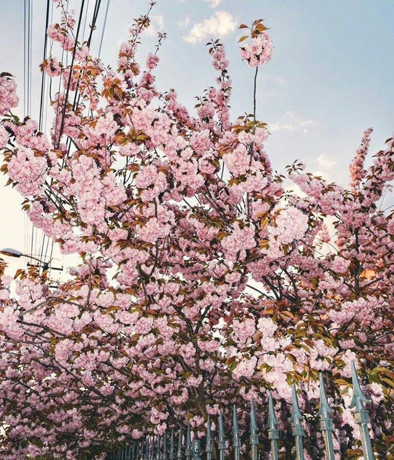 "Nike SB Dunk High ""Cherry Blossom"""
