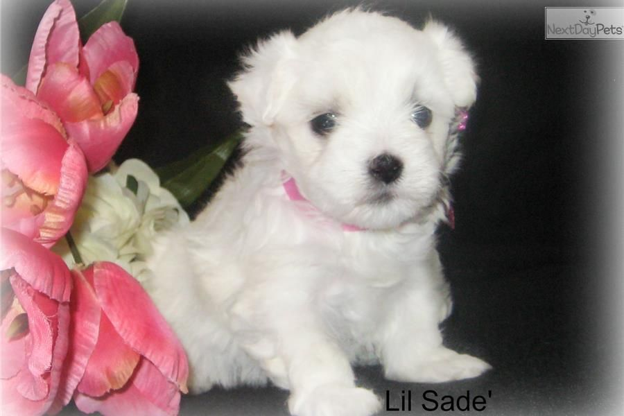 Lil Sade In 2020 Maltese Puppies For Sale Maltese Puppy