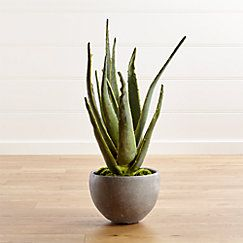 View larger image of Aloe Vera Plant