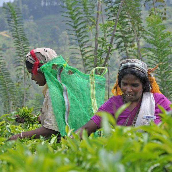 Traditionelle Teeernte in Sri Lanka
