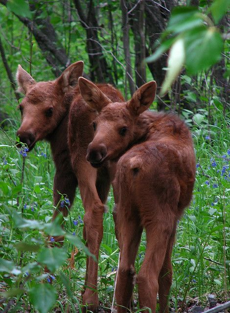 Twin Moose Calves by swaneesimpalass on Flickr