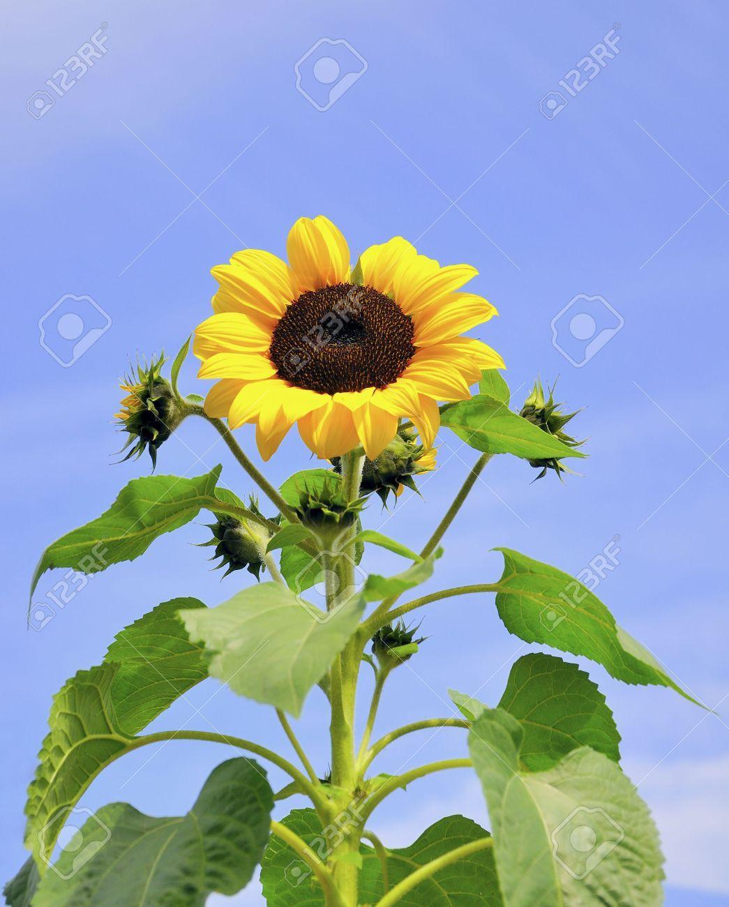 Sunflower Stalk Craft Ideas