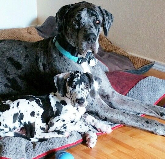 Luna In Her Home With Big Brother Loki Great Dane Dane Puppies