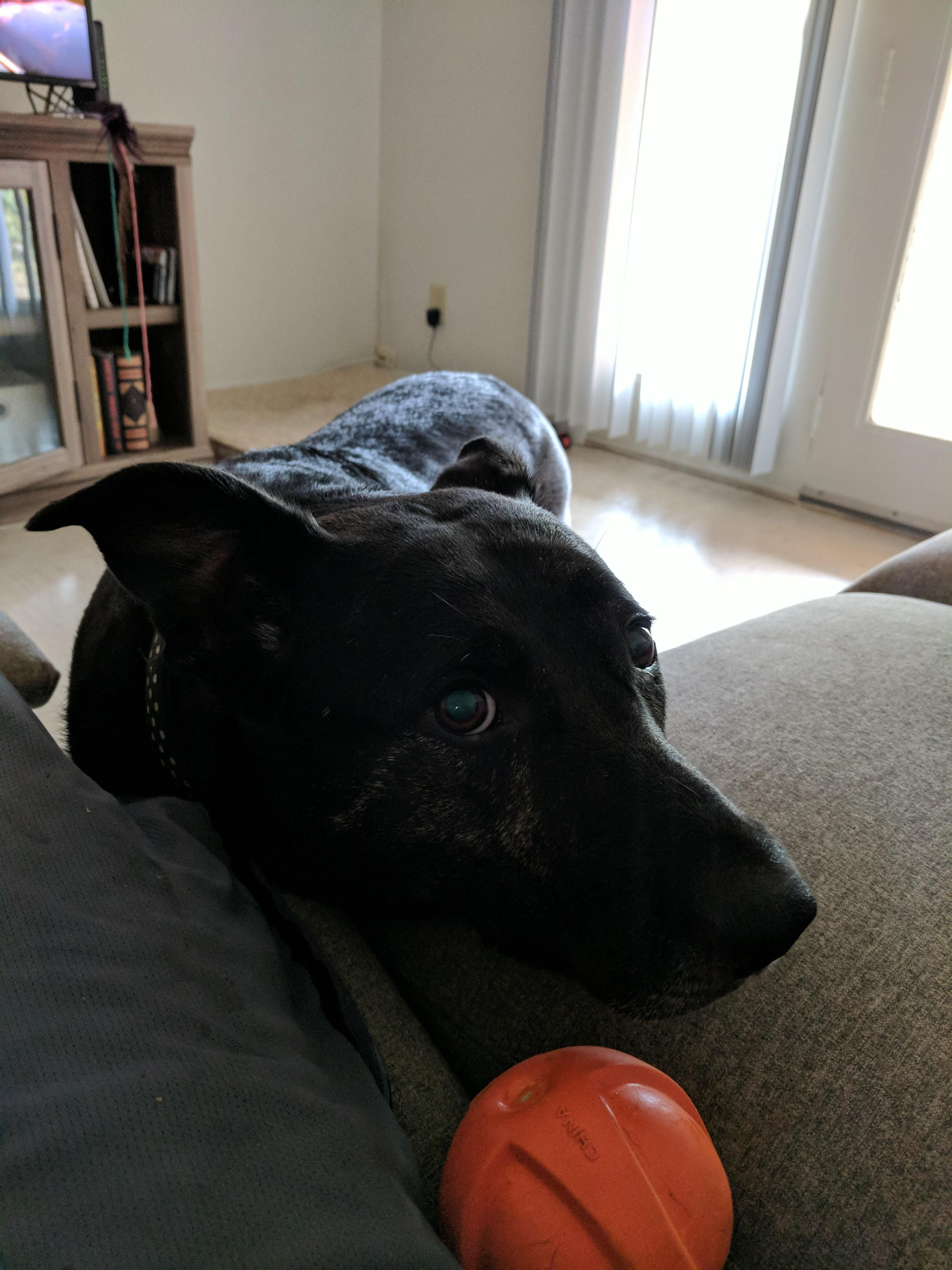My Doggo Roanoke Being Shy About Her Ball Http Ift Tt 2y8pxl8 With Images Doggo