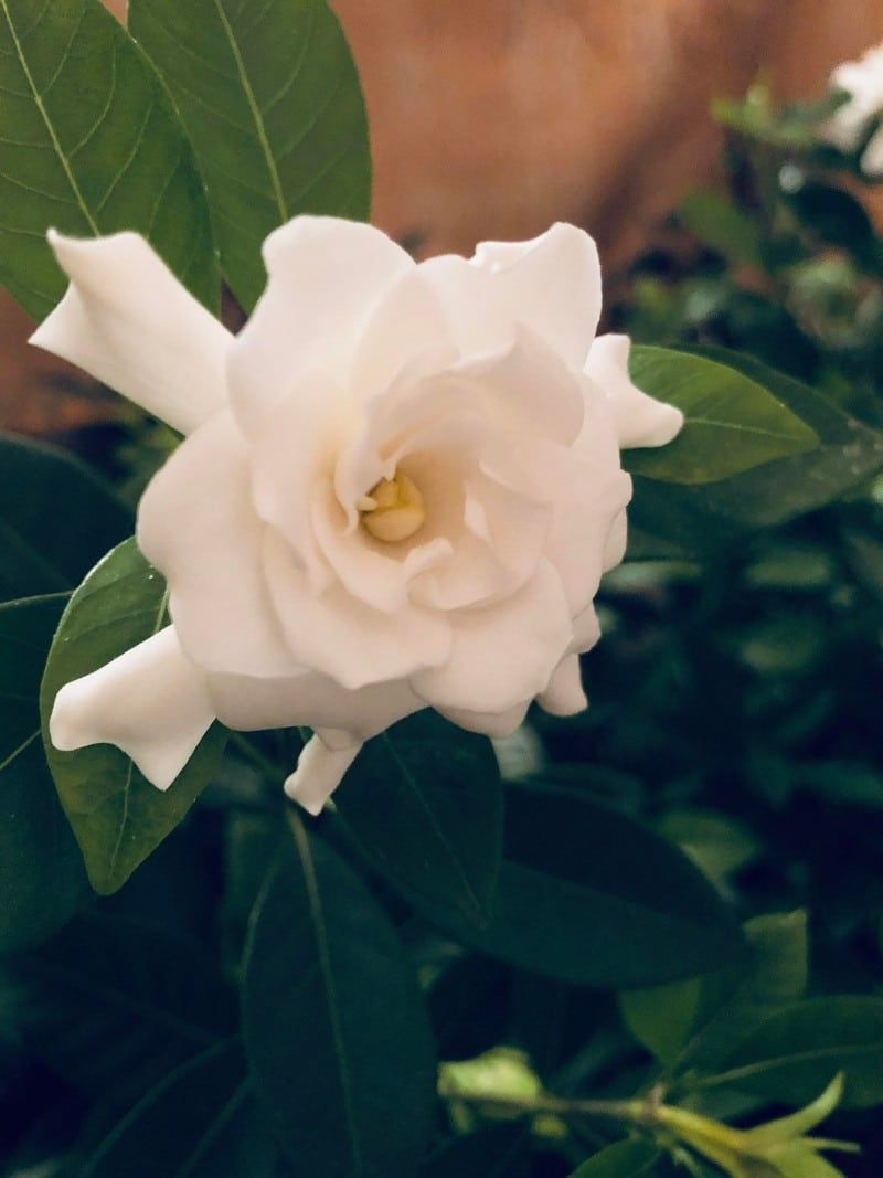 One Of The Main Causes For Gardenias To Drop Buds And Leaves Is Not Enough Light Mo In 2020 Gardenia Plant Garden Guide Smart Garden