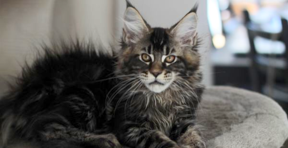 Pin On Cats Maine Coons