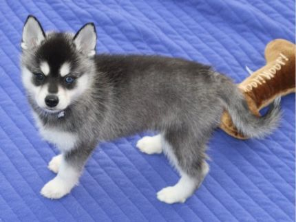 Vet Checked And Akc Registered Husky Puppies In Michigan Mi Free
