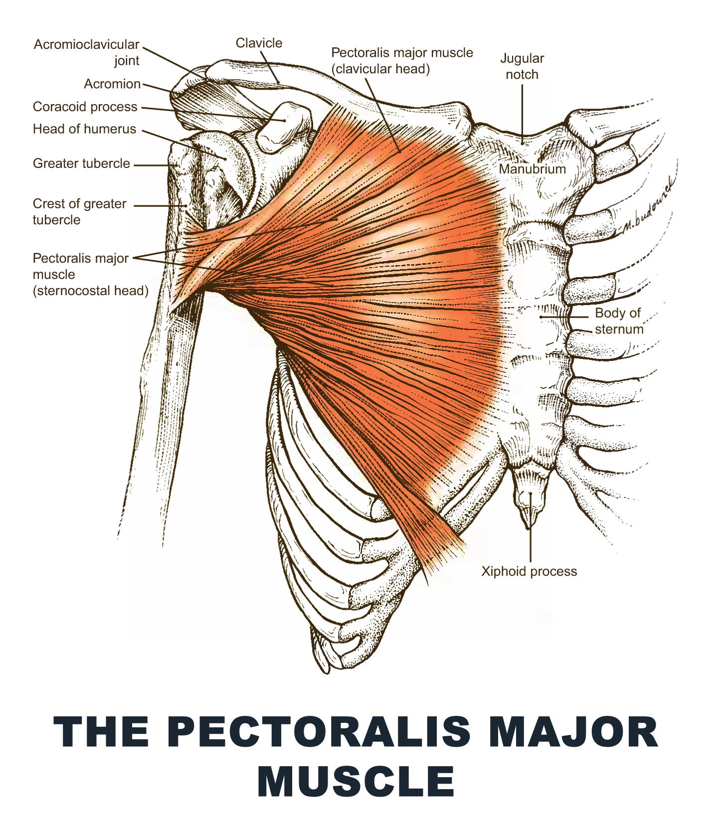 The Pectoralis Major Muscle - #anatomy images illustrations #anatomy ...