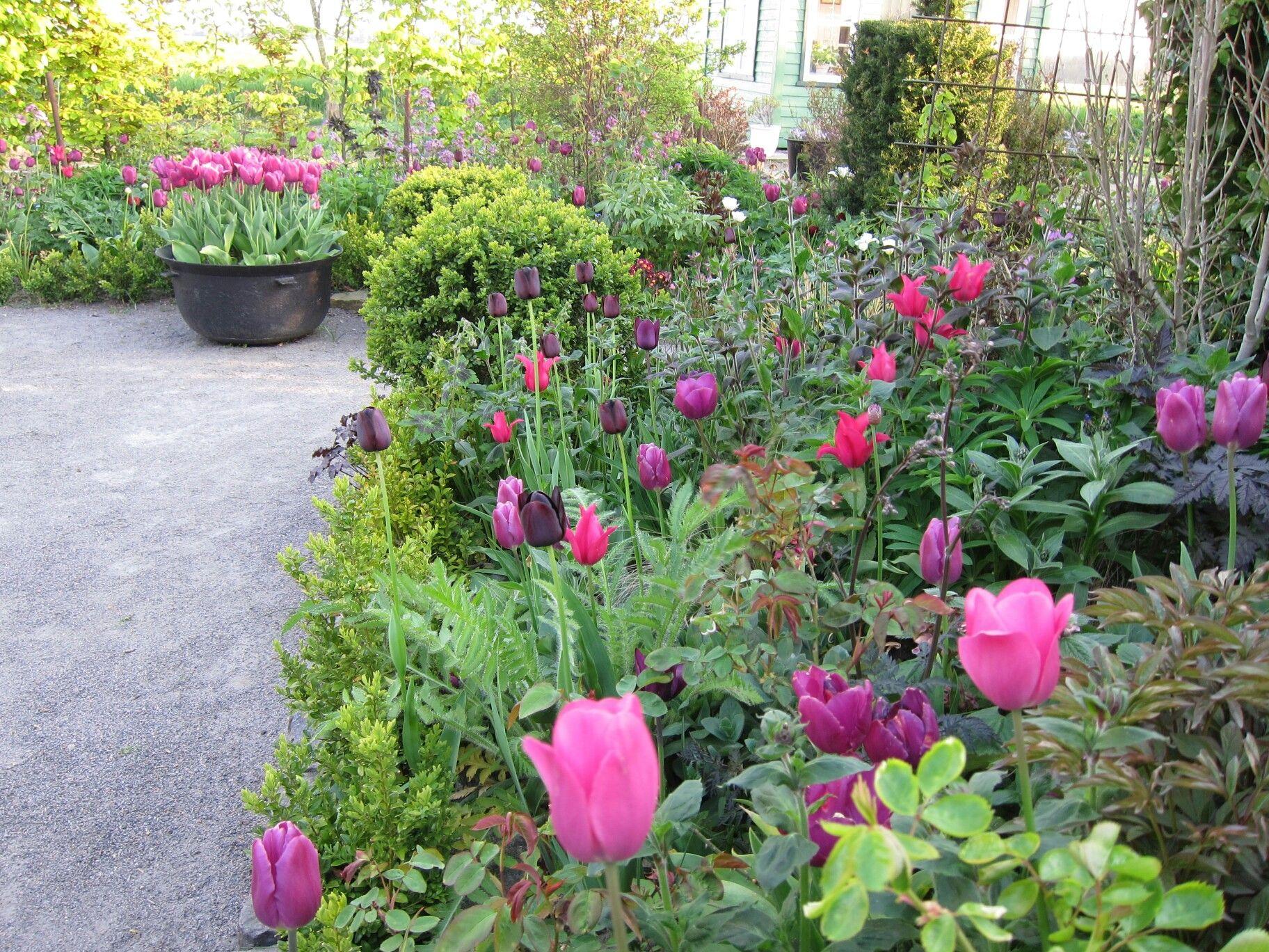 Tulipaner  Enghøj staudehave  Bornholm