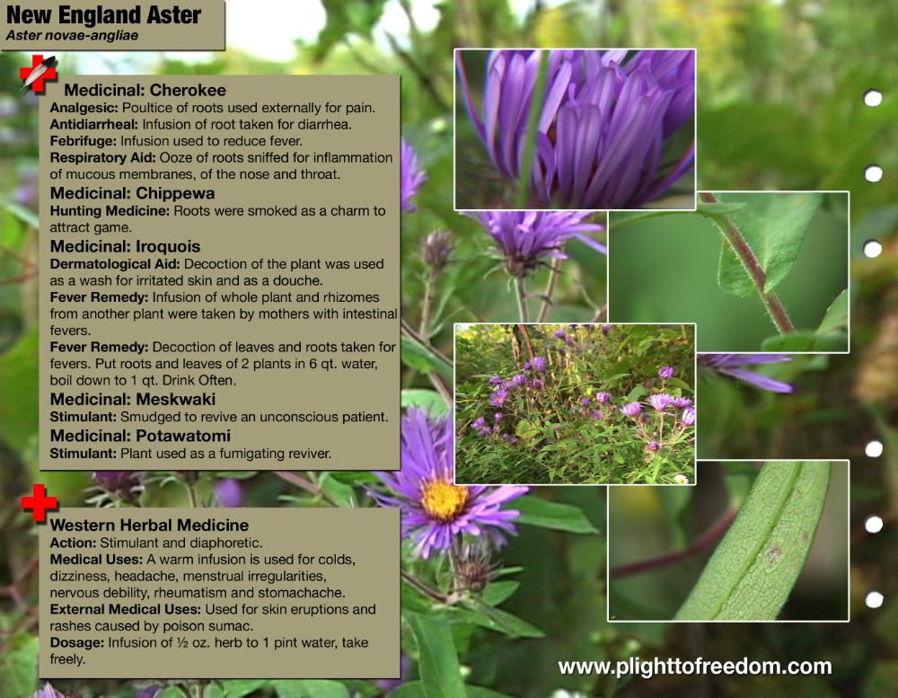Aster Medicinal Uses Google Search Medicine Aster Inflammation