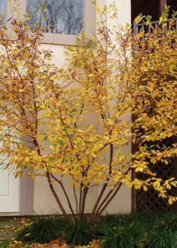 Common Witch Hazel: yellow flowers and leaves in October. Full sun to part shade. Zone 3