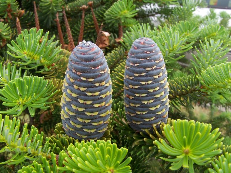 Cones from the spruce tree, Abies koreana. Great tree for zone 7B