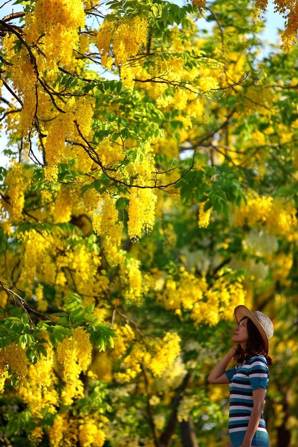 Golden flower trees in Tainan, Taiwan