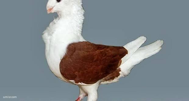 صور طيور الحمام موقع صور يومصر Animals Bird Release Dove