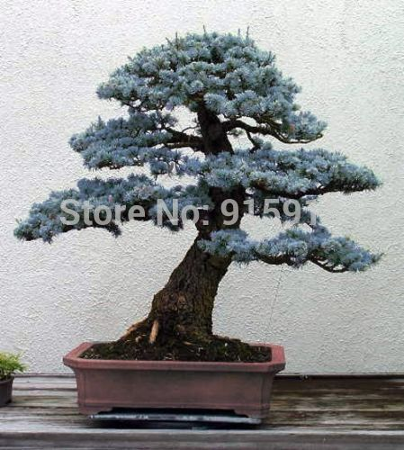 Colorado Picea Azul Pequenas Agujas Variedad Indoor Bonsai Tree Bonsai Tree Colorado Blue Spruce