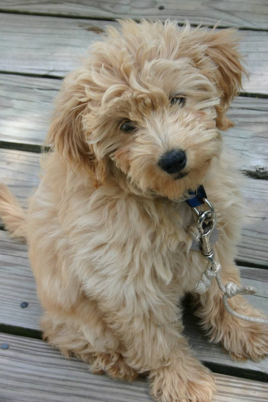 It's a baby mini goldendoodle...so stink cute. puppies