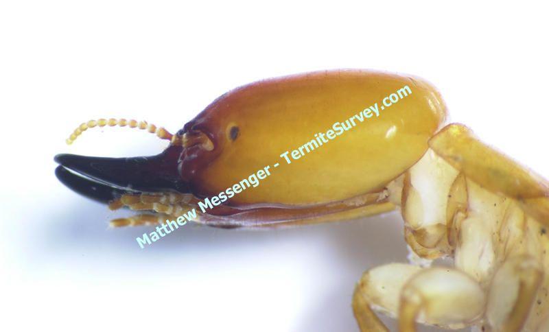 Google Image Result For Http Www Termitesurvey Com Distribution