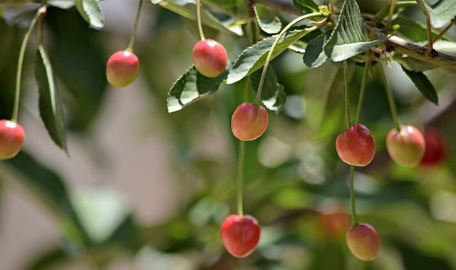 White Gold Cherry Tree Cold Hardy Gardening For Fruits