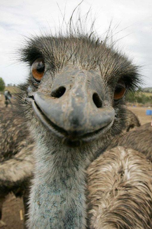 Zoo humain sur pinterest portraits d 39 animaux robe de - Bebe autruche ...