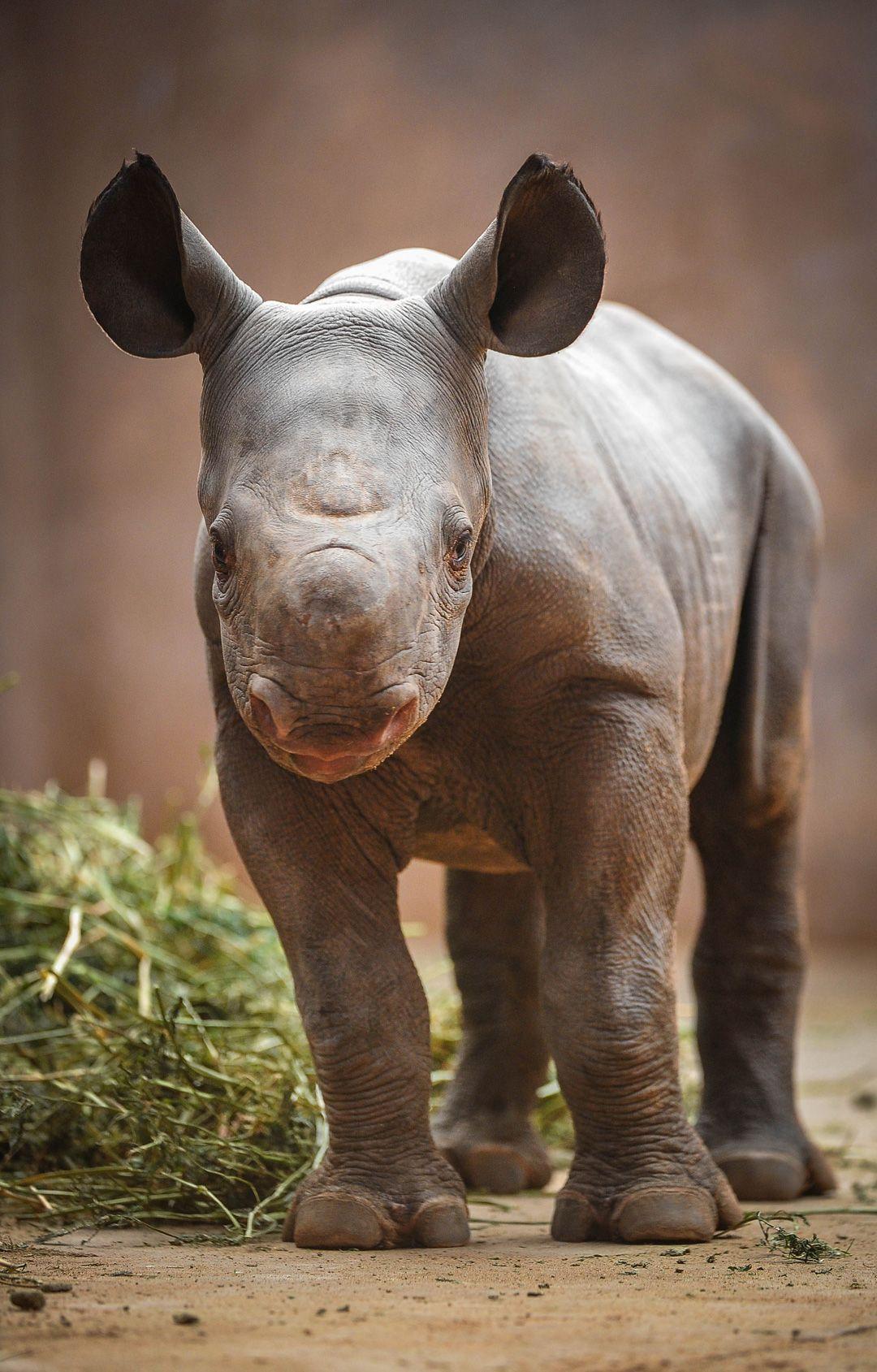 Baby Black Rhino   Animaux toto   Pinterest