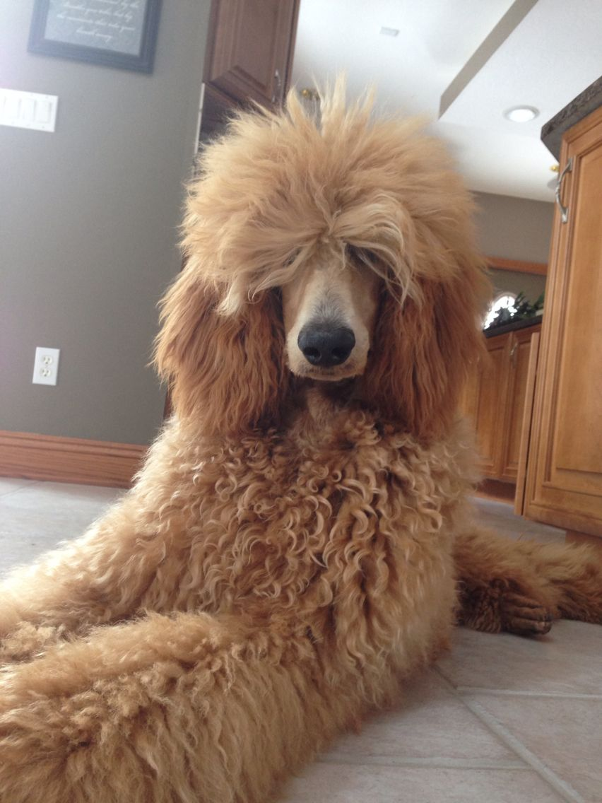 Rock Star Sophie Poodle Haircut Red Poodles