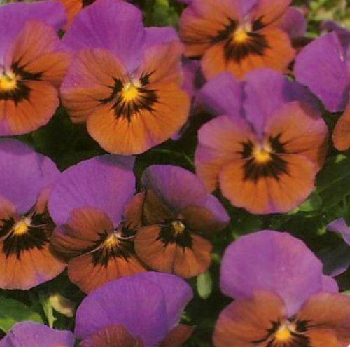Mini Pansy Blue Bronze Velour Viola 20 Seeds Perennial Pansies Flowers Pansies Summer Flowers Garden