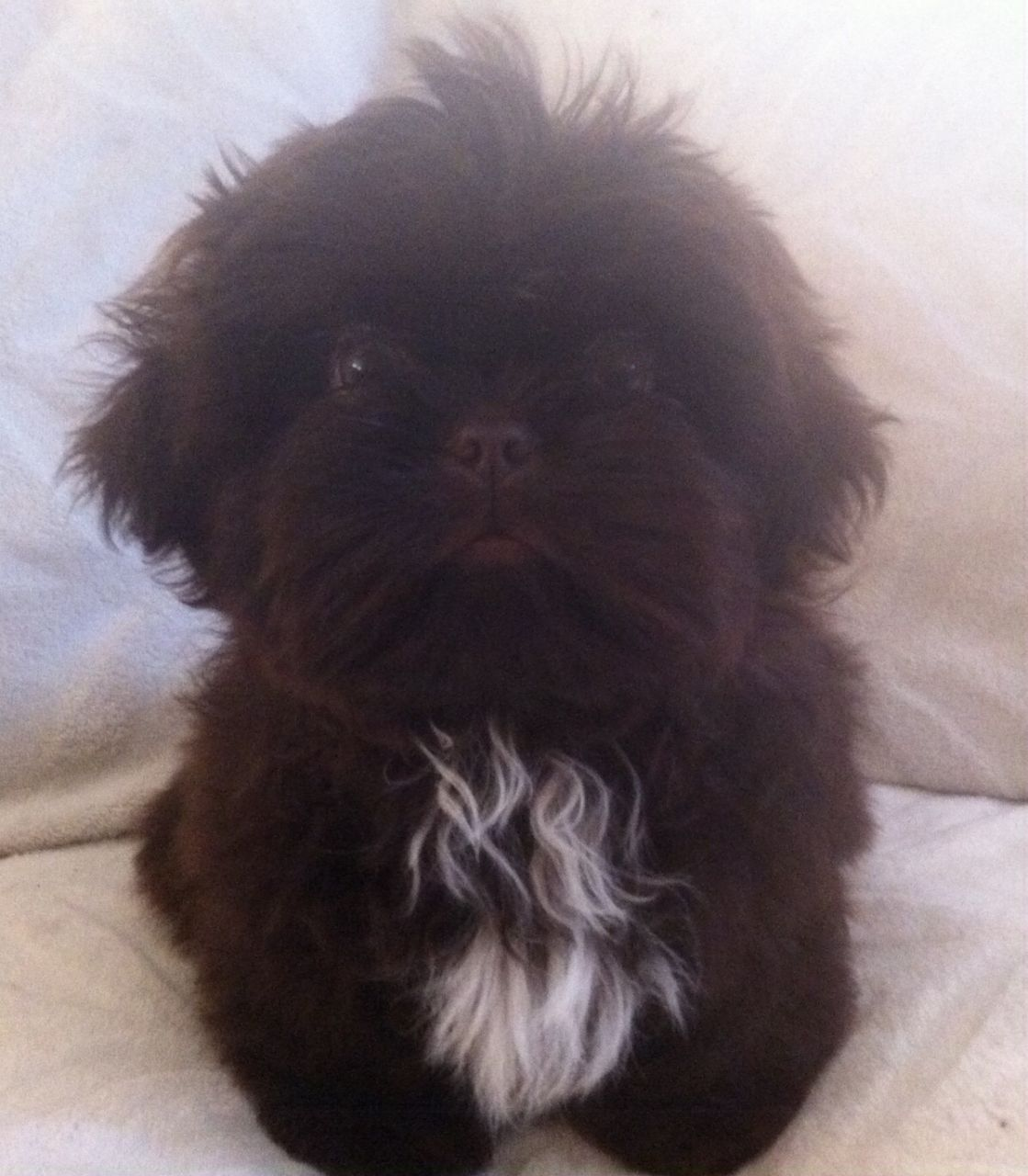 Stunning Solid Chocolate Shih Tzu Boy For Sale Hornchurch Essex