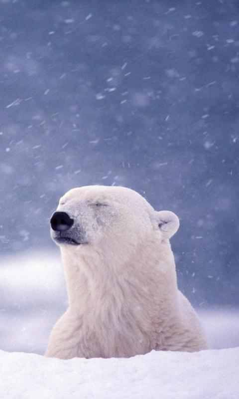 Polar Bear Wallpaper Polar Bears Pinterest Polar Bear Bear