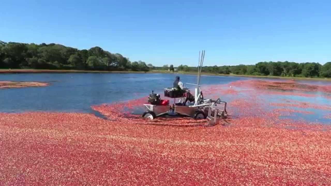 Wet cranberry harvest on Cape Cod