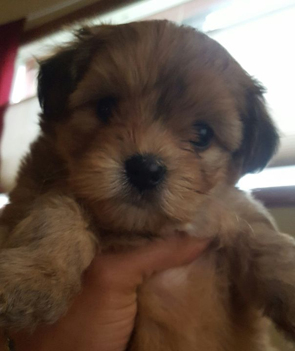 Morkie Puppy For Sale In Seattle Wa Adn 25663 On Puppyfinder Com