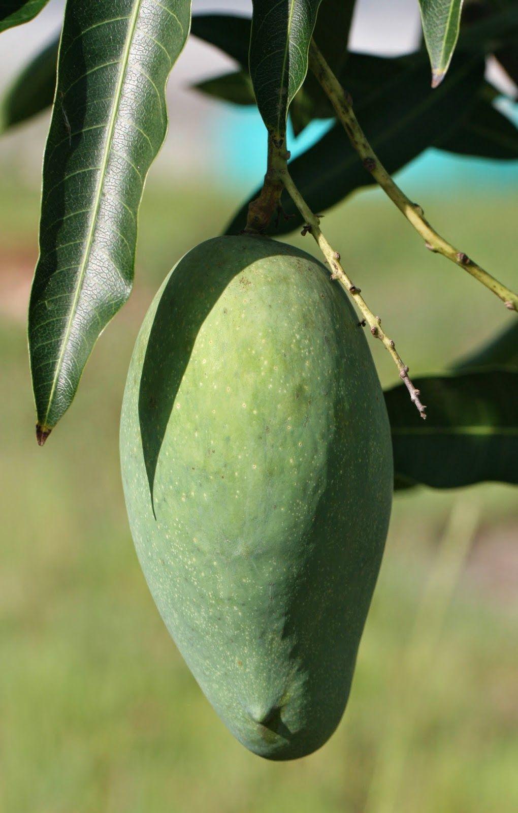 Mallika Mango Delicious Semi Dwarf
