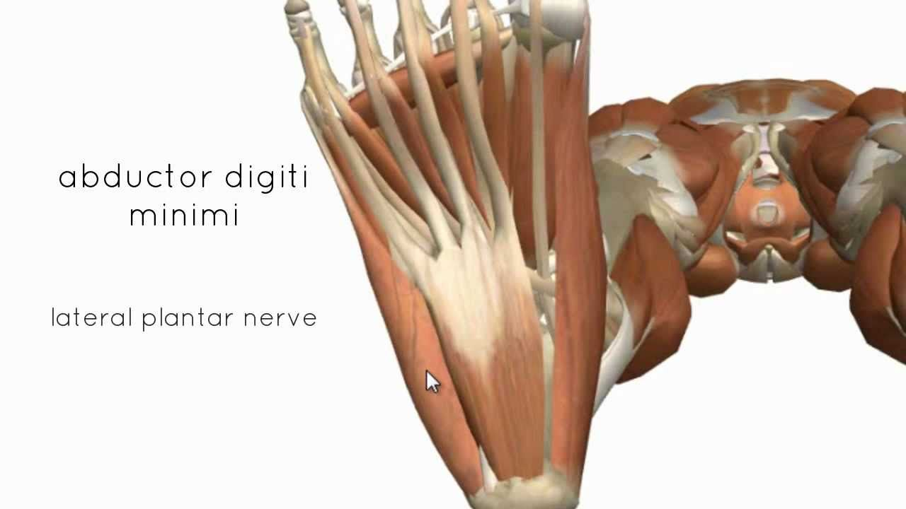 Muscles of the Foot Part 2 - 3D Anatomy Tutorial | Kinesiology ...
