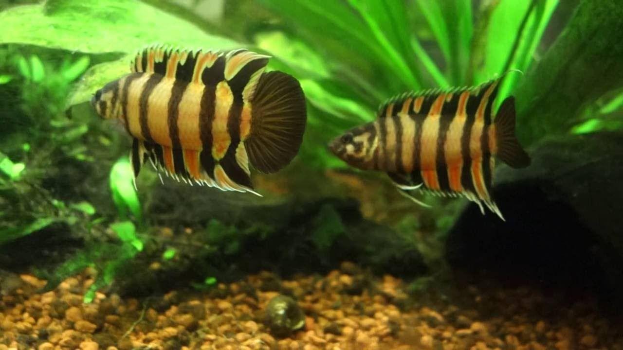 Microctenopoma Ansorgii Fresh Water Fish Pet