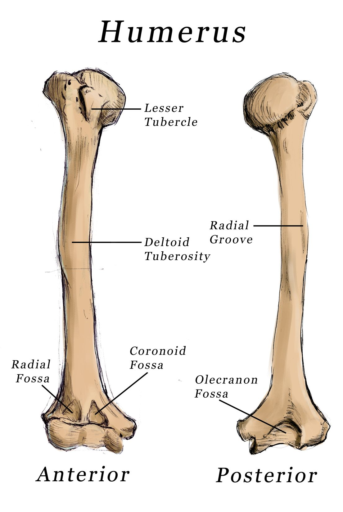 The humerus is essential for movement because it is the site of many ...