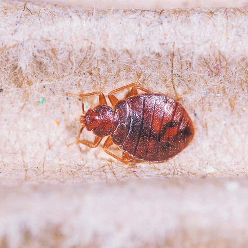What To Do About Bed Bug Bites Bed Bug Bites Bed Bugs Bed Bugs Infestation