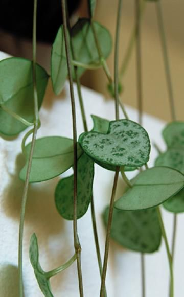 die sch nsten h ngepflanzen f rs zimmer somebirdy pinterest garten pflanzen und garten. Black Bedroom Furniture Sets. Home Design Ideas